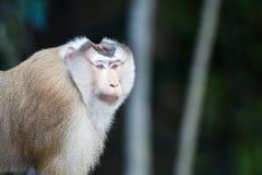 短尾猿猪盯梢了 免版税库存照片