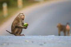 短尾猿猪盯梢了 库存照片