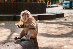 短尾猿猴子在城市时吃玉米,当坐由路 猴子看与开放他的嘴的照相机 免版税库存图片