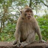 短尾猿猴子在巴厘岛 免版税图库摄影