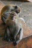 短尾猿猴子 免版税图库摄影