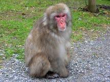 短尾猿猴子 免版税库存照片