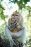 短尾猿用椰子 免版税库存图片
