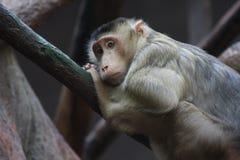 短尾猿被盯梢的猪南部 库存照片