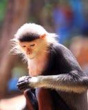 短尾猿猴子五种颜色(红shanked Douc) 库存图片