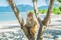 短尾猿猴子坐树 猴子海岛,越南 免版税库存图片