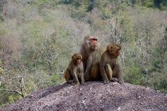 短尾猿猴子母亲和孩子 免版税库存图片