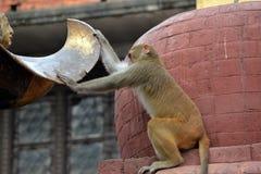 短尾猿猴子,在Swayambhunath寺庙。加德满都,尼泊尔 免版税库存图片