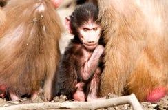短尾猿猴子Cub 免版税图库摄影