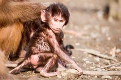 短尾猿猴子Cub 免版税库存图片