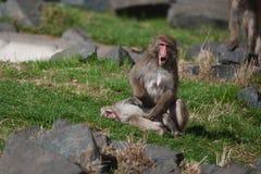 短尾猿猴子s雪 库存照片