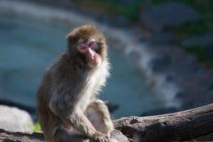 短尾猿猴子s雪 免版税库存照片