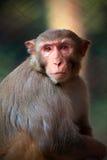 短尾猿 免版税库存图片