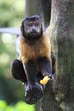短尾猿5 免版税图库摄影