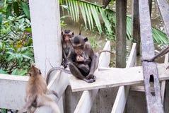 短尾猿 图库摄影