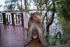 短尾猿 库存照片