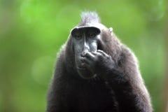 黑短尾猿 免版税图库摄影