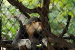 短尾猿portait 免版税库存图片
