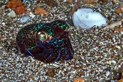 短尾的乌贼Euprymna;在海底的sp在晚上 免版税库存照片