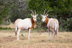 短弯刀有角的羚羊属公牛和母牛 库存照片