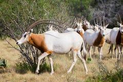短弯刀有角的羚羊属公牛 库存照片
