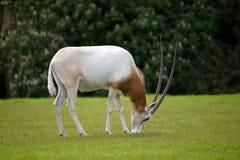 短弯刀有角的羚羊属在fota野生生物公园 库存图片