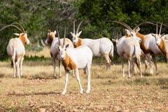 短弯刀有角的羚羊属小牛 免版税库存图片