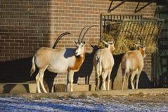 短弯刀有角的羚羊属或者羚羊属dammah 免版税库存照片