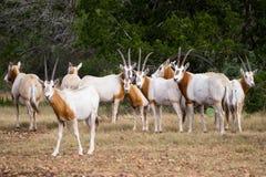 短弯刀有角的羚羊属牧群 免版税库存图片