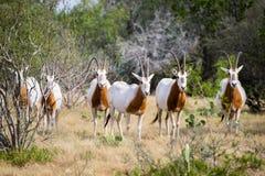 短弯刀有角的羚羊属牧群 库存照片