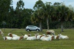 短弯刀有角的羚羊属羚羊属dammah 免版税库存照片
