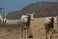 短弯刀有角的羚羊属& x28; 羚羊属dammah& x29; 库存照片