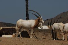 短弯刀有角的羚羊属& x28; 羚羊属dammah& x29; 免版税库存照片