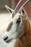 短弯刀有角的羚羊属 库存图片