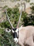 短弯刀有角的羚羊属 免版税库存照片