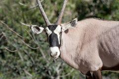 短弯刀有角的羚羊属 免版税库存图片