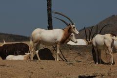 短弯刀有角的羚羊属& x28; 羚羊属dammah& x29; 免版税库存图片