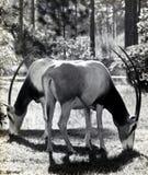 短弯刀羚羊属或Scimitary有角的Orys 库存照片