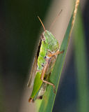 短有角的蚂蚱 库存照片