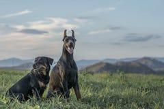短毛猎犬和Rottweiler 图库摄影
