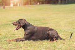 短毛猎犬在领域的短毛猎犬谎言 免版税库存图片