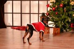 短毛猎犬新年 库存照片