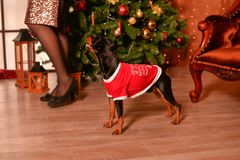 短毛猎犬新年 库存图片