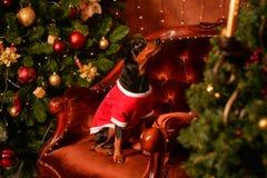 短毛猎犬新年 免版税库存图片