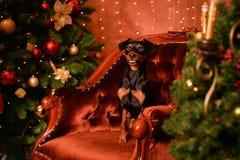 短毛猎犬新年 免版税库存照片