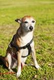 短毛猎犬在公园的狗画象 免版税库存图片