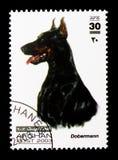 短毛猎犬短毛猎犬(天狼犬座familiaris),狗serie,大约20 免版税图库摄影