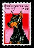 短毛猎犬短毛猎犬(天狼犬座familiaris),狗serie,大约19 免版税库存图片