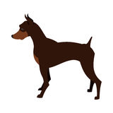 短毛猎犬pincher狗 免版税图库摄影