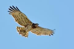 短用脚尖踢的蛇老鹰(Circaetus gallicus) 免版税库存图片